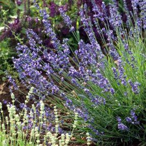 Lavandula angustifolia 'Maillette' - Vraie Lavande