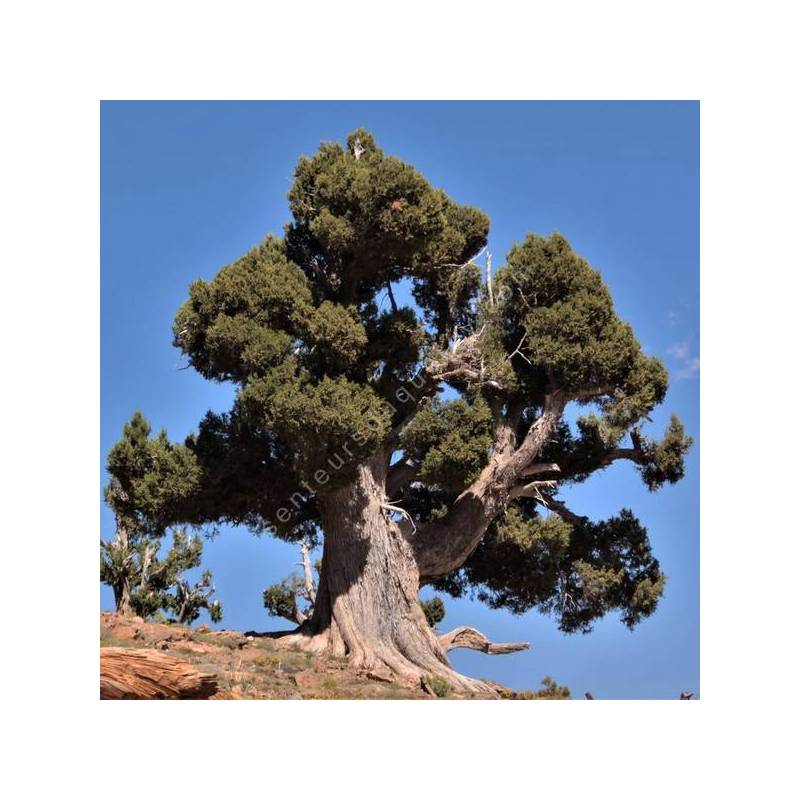Juniperus thurifera - Genévrier à encens