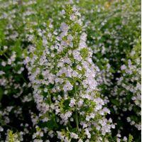 Calamintha nepeta 'Triumphator' - Calament à fleurs blanches