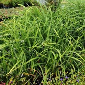 Carex pendula - Laîche pendante