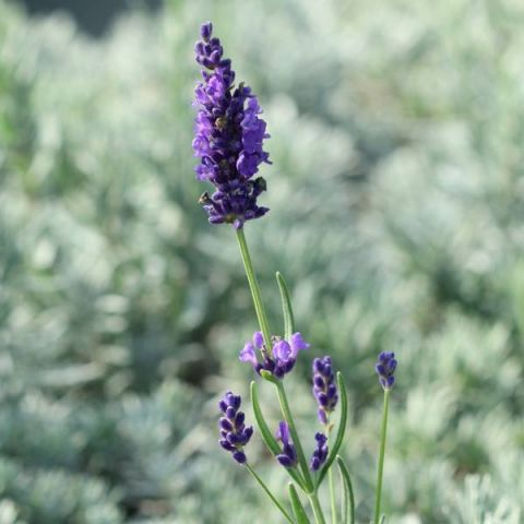 Lavandula angustifolia 'Twickle Purple' - Vraie Lavande