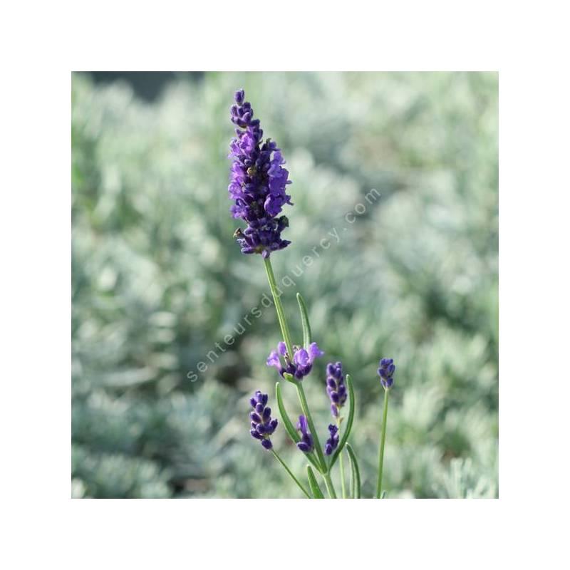 Lavandula angustifolia 'Twickle Purple' - Vraie Lavande