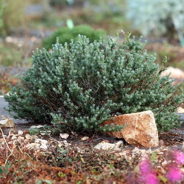 Santolina rosmarinifolia - Santoline à feuilles de romarin