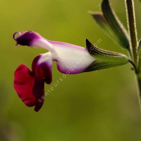 Salvia 'Amethyst Lips' - Sauge arbustive blanche et violette