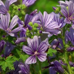 Malva sylvestris 'Primley Blue' - Mauve sylvestre à fleur bleue