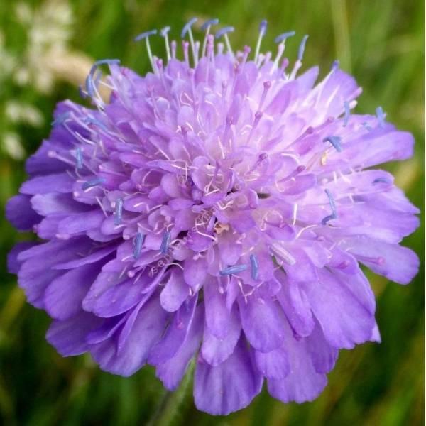 Knautia arvensis - Knautie des champs