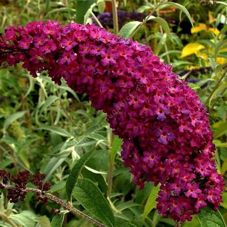 Buddleja davidii 'Royal Red' - Arbre aux papillons pourpre