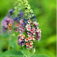 Buddleja 'Bicolor' - Arbre aux papillons