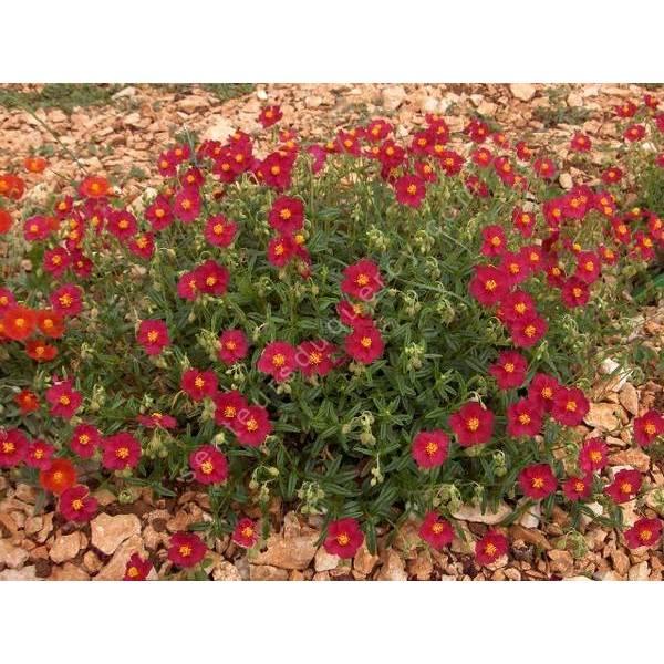Helianthemum 'Supreme' - Hélianthème à fleur rouge