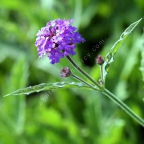 Verbena venosa - Verveine rigide