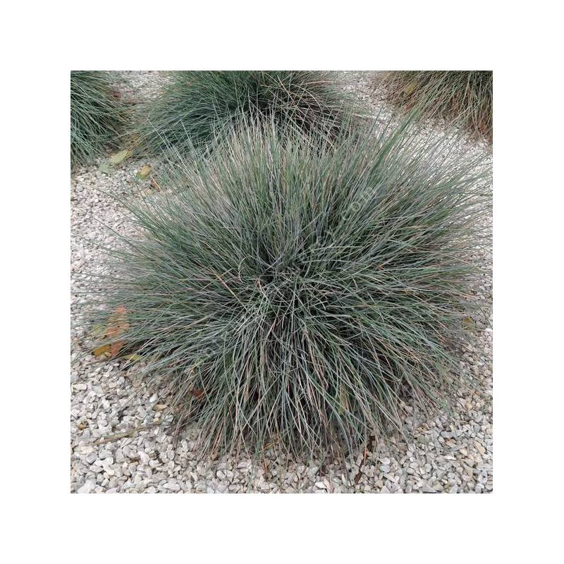Festuca glauca 'Blue Select' - Fétuque bleue