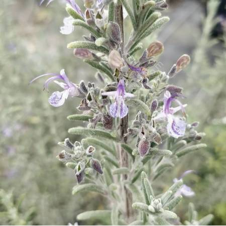 Rosmarinus x mendizabalii - Romarin tomenteux