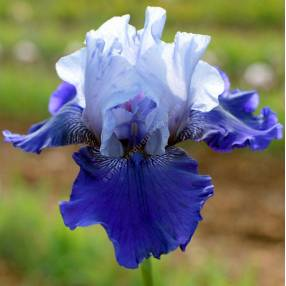 Iris 'Best Bet'