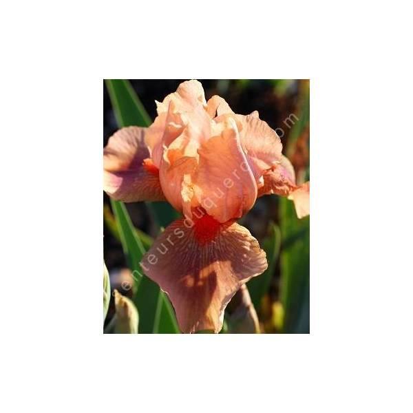 Iris 'Pink Pele'