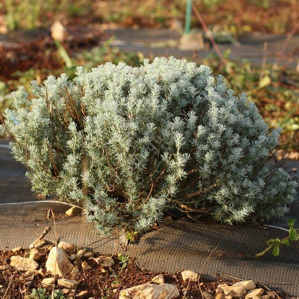 Santolina rosmarinifolia 'Caerulea' - Santoline à feuilles de romarin grise