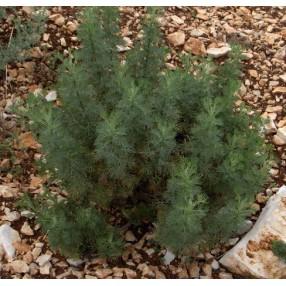 Artemisia abrotanum, Arquebuse, Aurone
