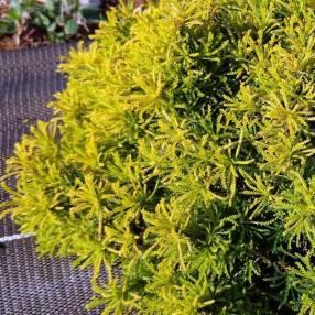 Santolina viridis 'Lemon Fizz' - Santoline dorée