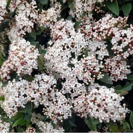 Viburnum tinus - Laurier-Tin