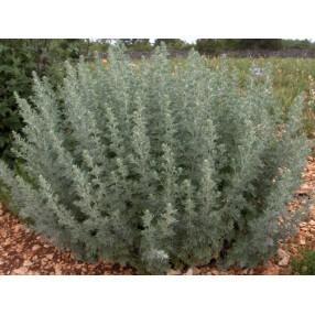 Artemisia absinthium, Absinthe