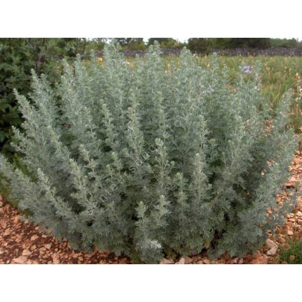 absinthe vivace artemisia absinthium plante pour chartreuses. Black Bedroom Furniture Sets. Home Design Ideas