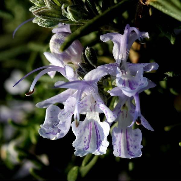 Rosmarinus officinalis 'Mrs Jessopp's Upright' - Romarin