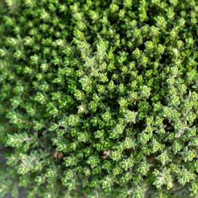 Thymus vulgaris 'Compactus' - Thym compact