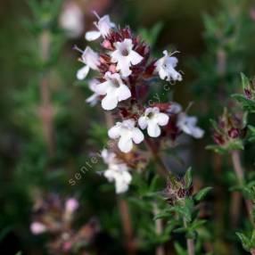 Thymus hyemalis - Thym