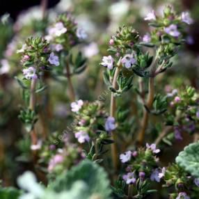Thymus orospedanus - Thym