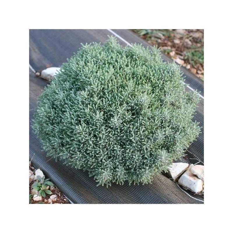Santolina chamaecyparissus 'Lambrook Silver' - Santoline petit cyprès