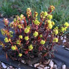 Euphorbia amygdaloides 'Purpurea' - Euphorbe à feuilles d'amandier pourpre