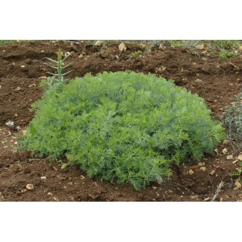 Artemisia alba - Armoise blanche