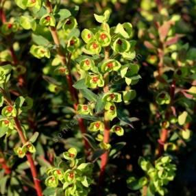 Euphorbia 'Redwing' - 'Charam' - Euphorbe