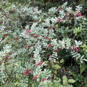 Zanthoxylum bungeanum - Poivrier du Sichuan