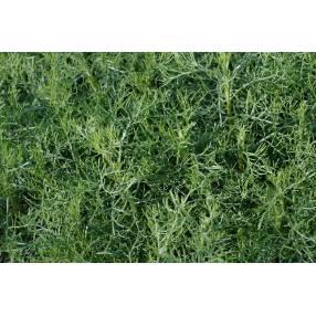 Artemisia alba, Armoise blanche