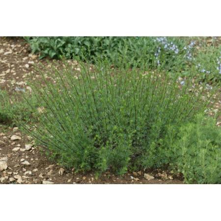 Artemisia campestris, Armoise champêtre