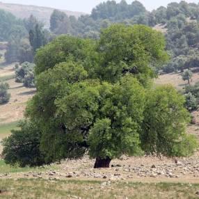 Fraxinus angustifolia - Frêne à feuille étroite