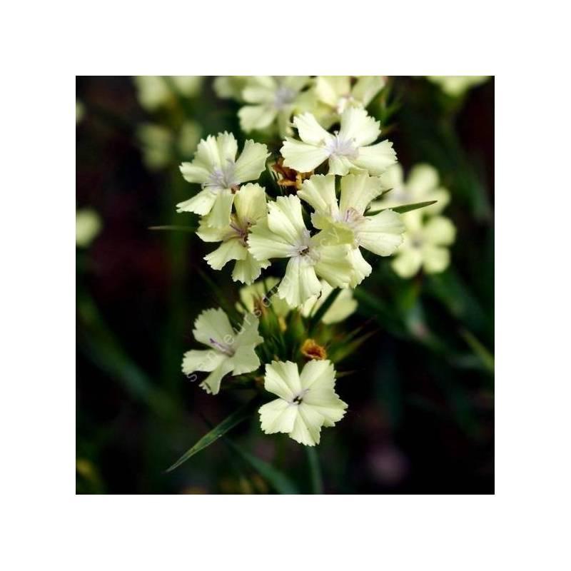 Dianthus knappii - Oeillet des montagnes diraniques