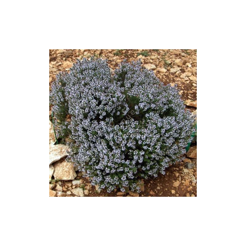 Thymus x faustinoi - Thym compact