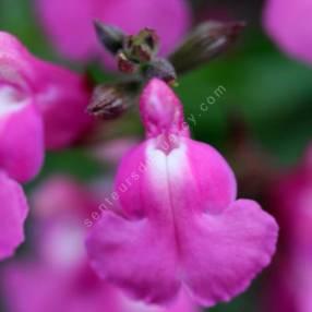 Salvia 'Roselilac' - Sauge arbustive rose