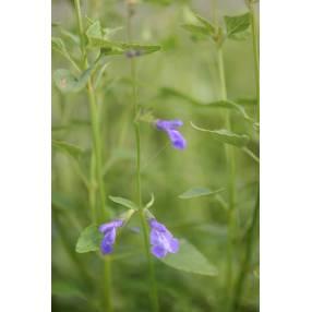 Salvia arizonica - Sauge d'Arizona