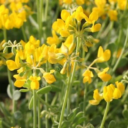 Lotus corniculatus - Lotier coniculé