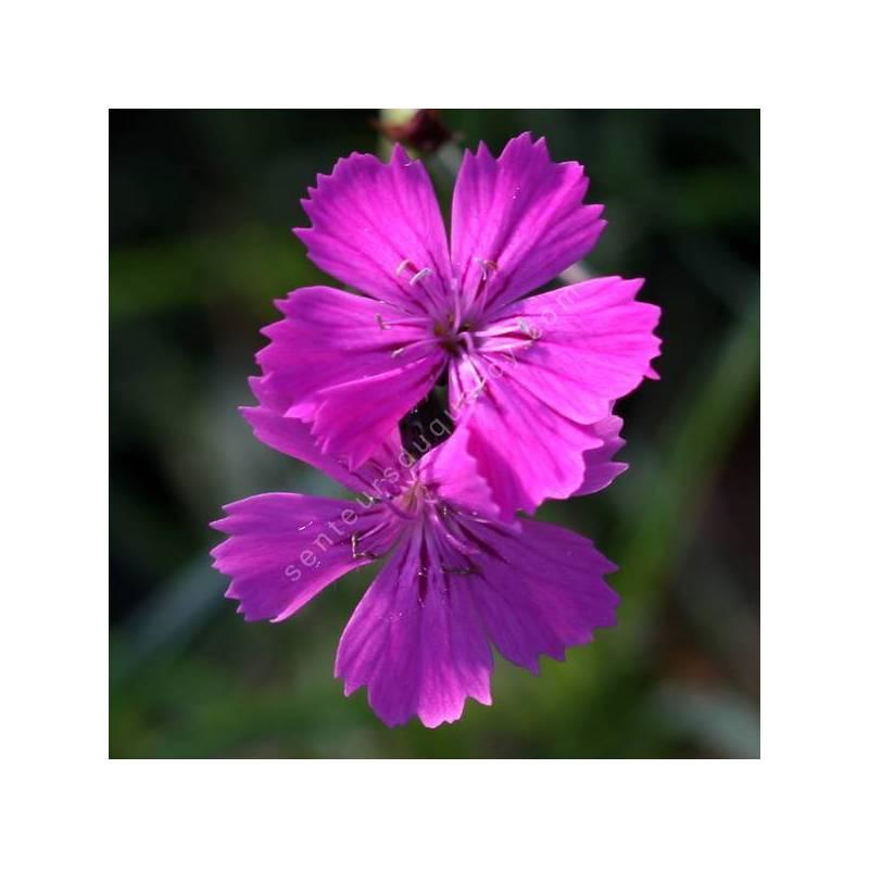 Dianthus carthusianorum - Oeillet des chartreux
