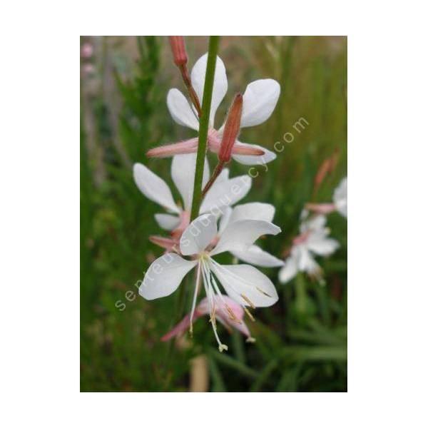 Gaura lindheimeri 'Papillons Tourbillonnants' - Gaura blanc