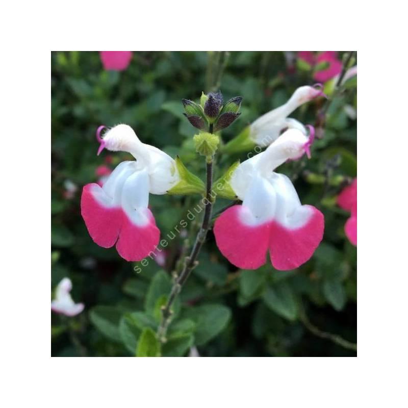 Salvia 'Pink Lips' - Sauge arbustive blanche et rose