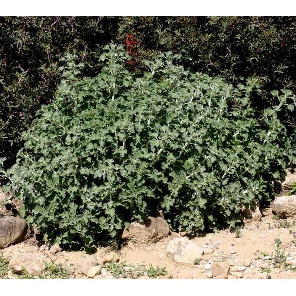 Marrubium vulgare - Marrube blanc