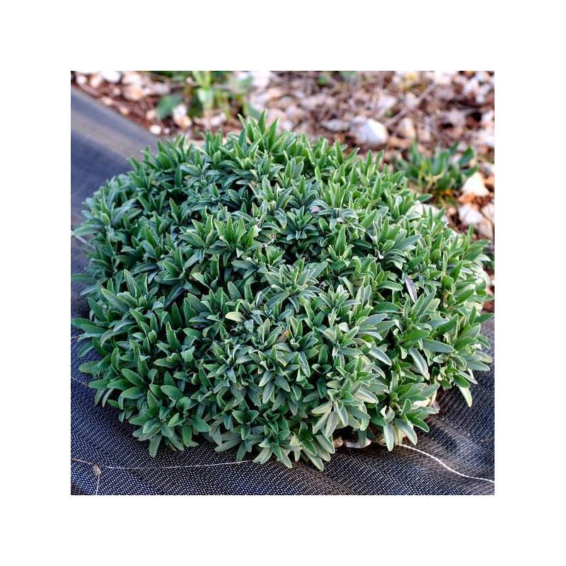 Salvia officinalis 'Extracta' - Sauge officinale