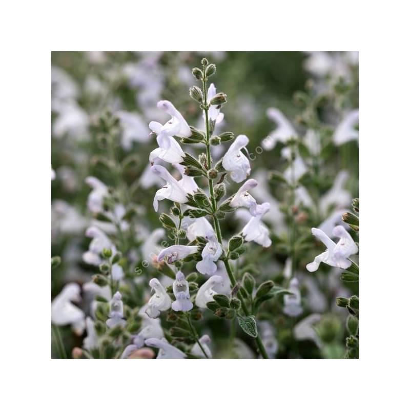 Salvia fruticosa - Sauge trilobée