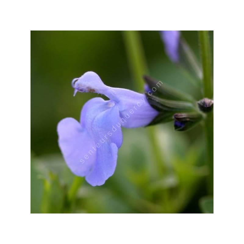 Salvia 'Aquamarine' - Sauge arbustive bleu clair