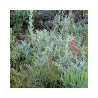 Artemisia maritima - Armoise maritime