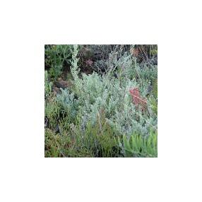 Artemisia maritima, Armoise maritime